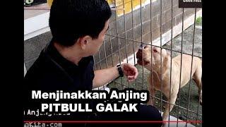KOTABE Si Anjing Pitbull Penjaga 50 Anjing Terlantar DI Shelter Maria StrayHome