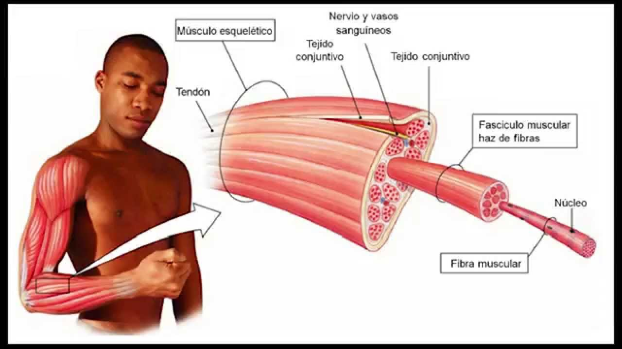 INTRODUCCION A LA ANATOMIA DEL SISTEMA MUSCULAR - YouTube