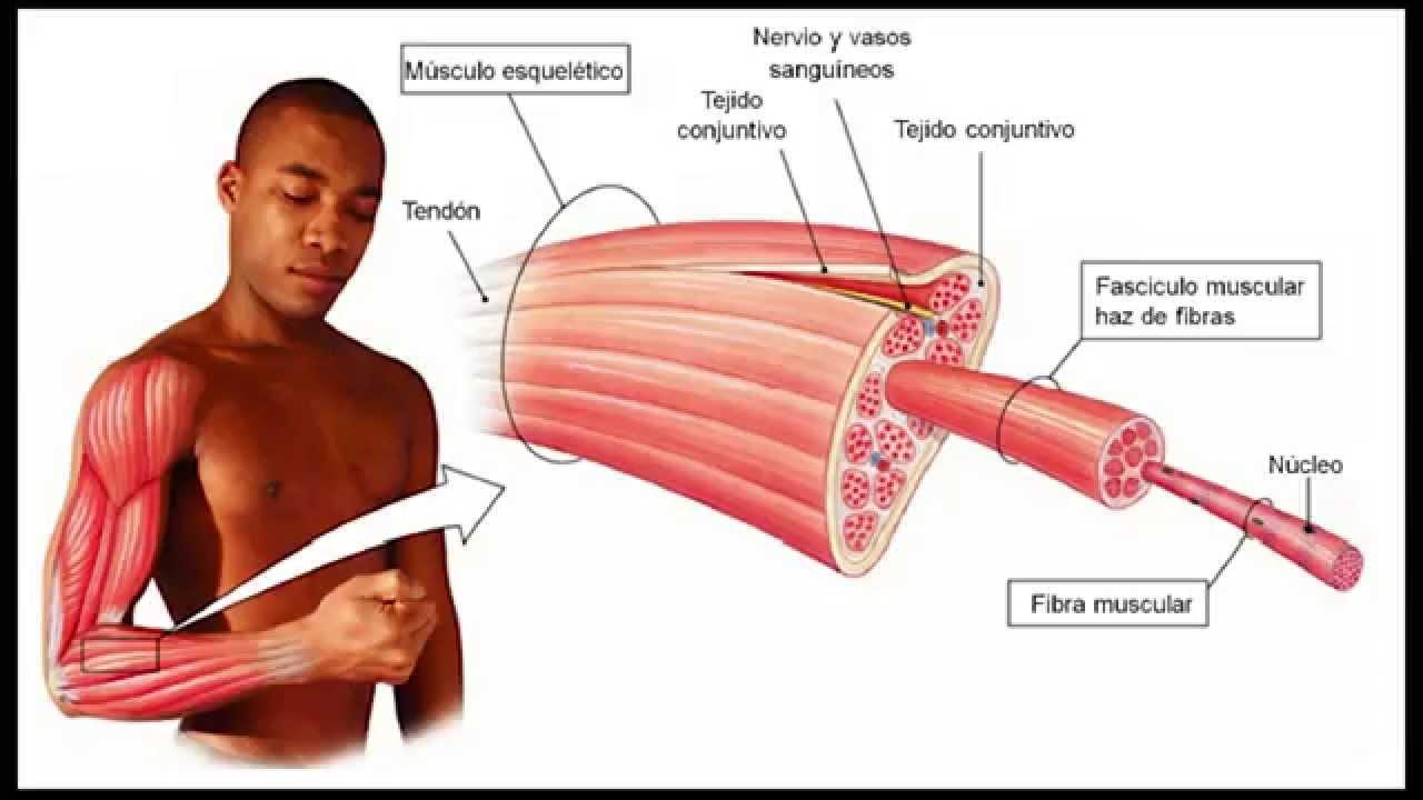 Introduccion A La Anatomia Del Sistema Muscular