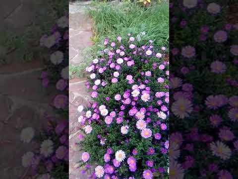 Бордюрная астра низкорослая (карликовая) - радостный яркий цветок осени!!