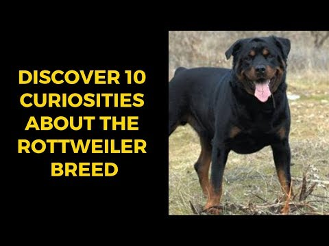 Discover 10 Curiosities About The Rottweiler Breed
