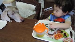 赤ちゃんのこぼしたご飯粒を食べたくて仕方ない 13歳のワイマラナー(...
