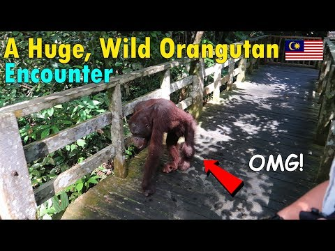 OMG! Huge, Wild Orangutan Encounter in Borneo! | June 25th, 2017 | Vlog #150