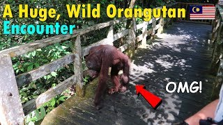 omg huge wild orangutan encounter in borneo   june 25th 2017   vlog 150