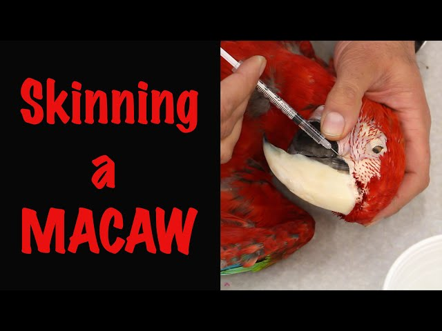 How to skin a Bird for Taxidermy. Green winged macaw, Parrot Taxidermy. Art of Taxidermy.