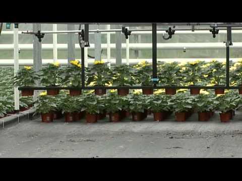 Промышленные теплицы. Выращивание горшечных цветов.