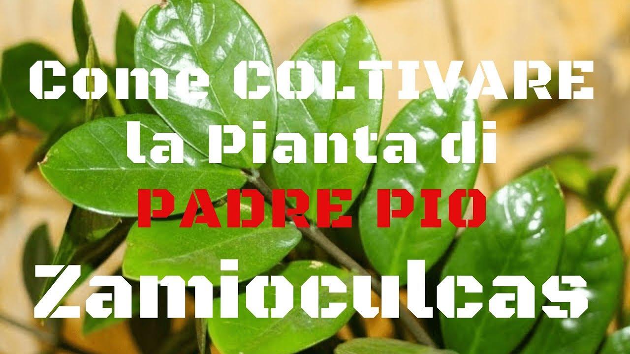 Pianta Da Appartamento Zamiifolia.Pianta Di Padre Pio Come Coltivare In Casa La Zamioculcas