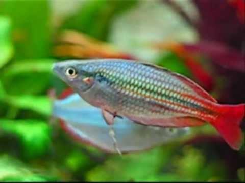 Melanotaenia Trifasciata - Banded Rainbowfish