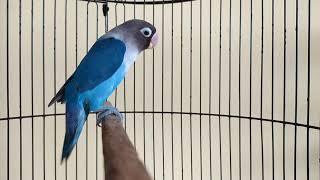 Lovebird ngetik lanjut ngekek pancingan ampuh lobet bisu nyaut jadi ngekek kembali