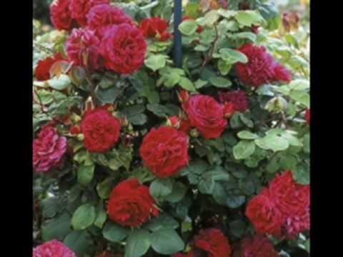Ramblin' Rose - Nat King Cole