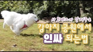 Samoyed gives a tour of a local dog park in Canada 사모예드의 동네 도그파크 탐방기