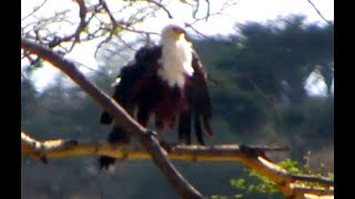 African Fish Eagle preening. Africa Animals cam. 17 Octoper 2018