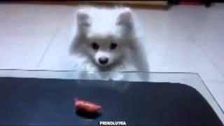 Собачка с короткими лапками