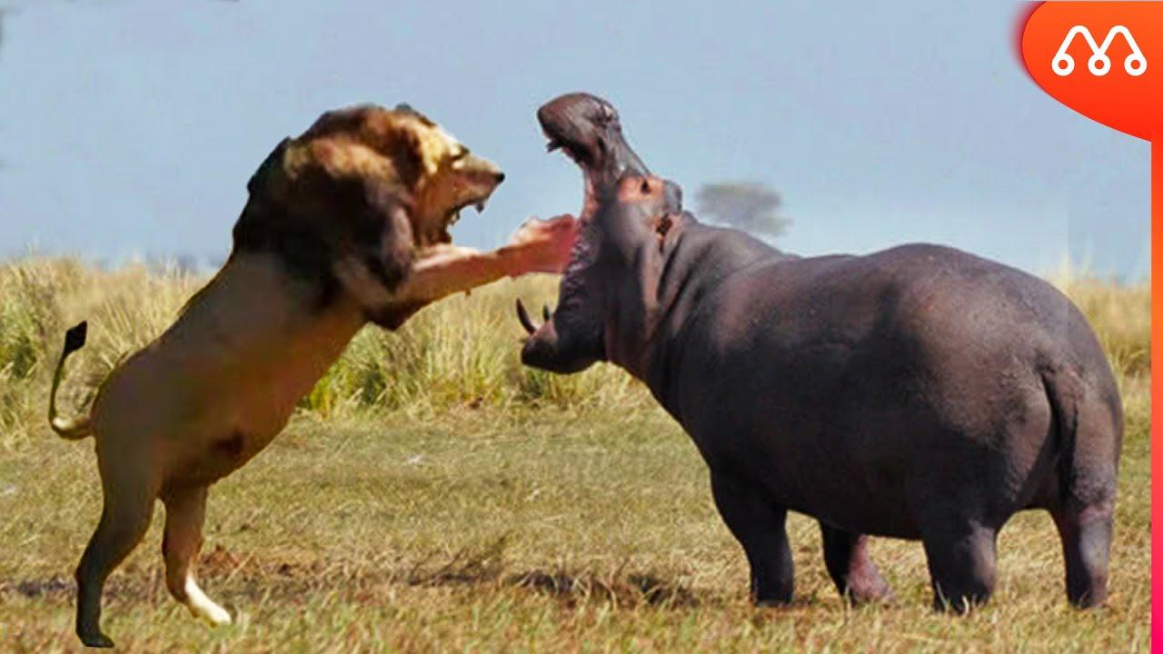 LEÃO vs HIPOPÓTAMO: QUEM VENCE ESSA LUTA? Lion vs Hippo Fight