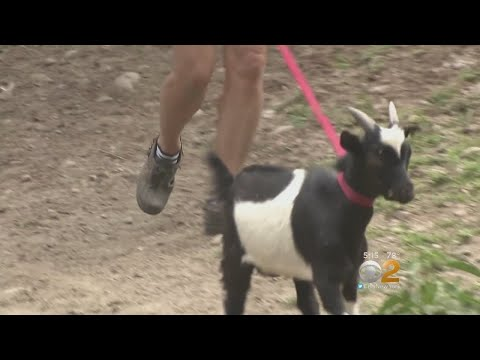 Goat Rescued At Secaucus Wal-Mart Parking Lot