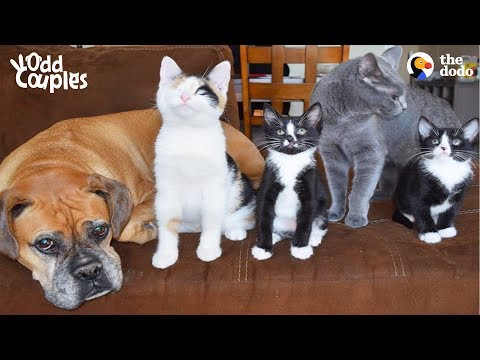 Dog And Cat Help Raise Foster Kittens Together   The Dodo Odd Couples