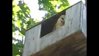 Barn Owl In A Nesting Box!