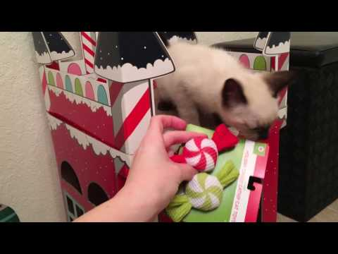 Kitten Winter Wonderland For Siamese Foster Kitten! New Holiday Cat Toys!