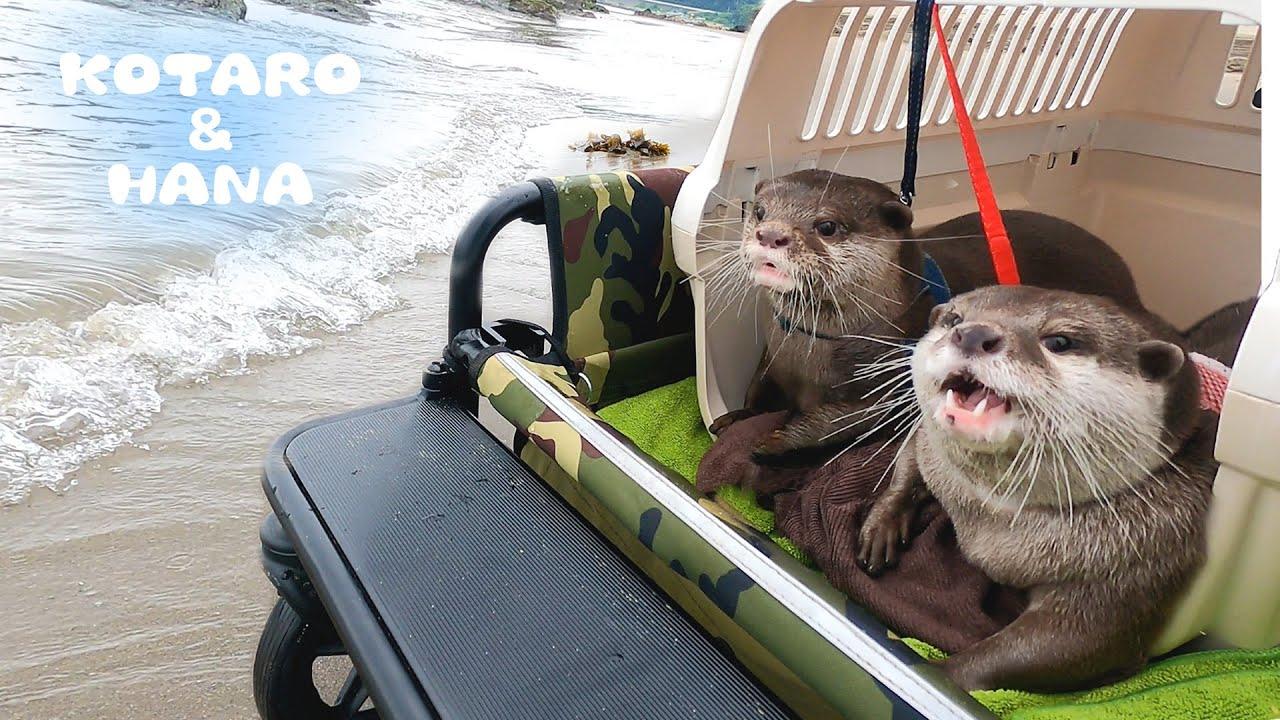 すごい体勢でエアコンにしがみついて風を浴びるカワウソ Otter Puts His Face On The Car Air Conditioner