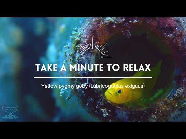 Take a Minute XX : Yellow pygmy goby (Lubricogobius exiguus)
