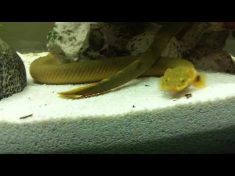 Rope Fish Eating Live Earthworms
