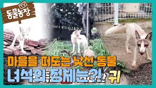 마을을 떠도는 낯선 동물! 녀석의 정체는 '하얀 여우?!' I TV동물농장 (Animal Farm) | SB…