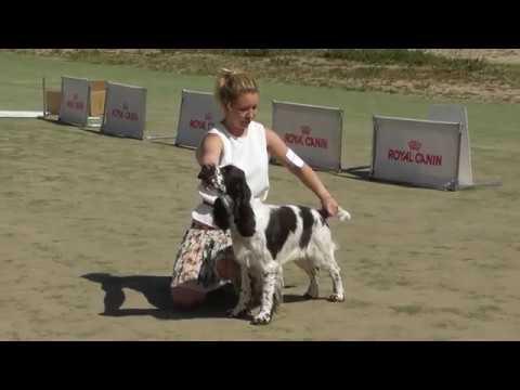 английский спрингер спаниель, видео с выставки собак