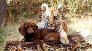 Необычная дружба животных! Тигренок и собака!   Смешные Звери!