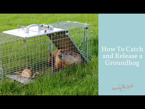 How to Catch a Groundhog