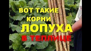Вот такие корни лопуха!!!! Можно вырастить в теплице! These are the roots of burdock !!!!