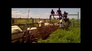 Troupeau de vaches part 1