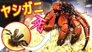 【猛毒】謎の生物ヤシガニを使って料理していくっ!