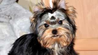 Yorkshire Terrier Puppy, Mini Girl Age 4 Month