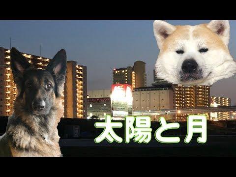 秋田犬シェパード犬 太陽と月German Shepherd dog  JAPANESEAKITA