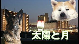 grandchild and German Shepherd dog 秋田犬は今日も元気です 孫達と犬...