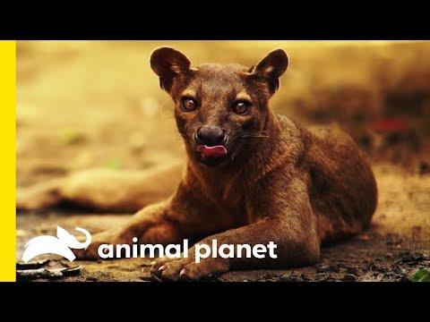 The Fabulous Fossa: Madagascar's Greatest Predator