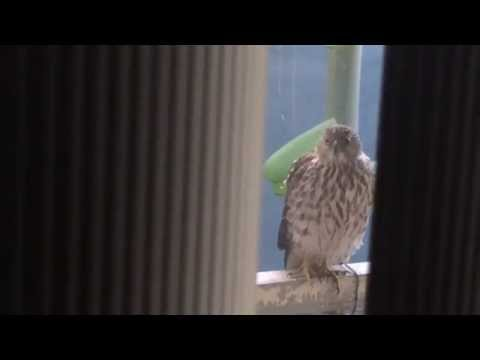Hawk wants to kill African Grey Parrot