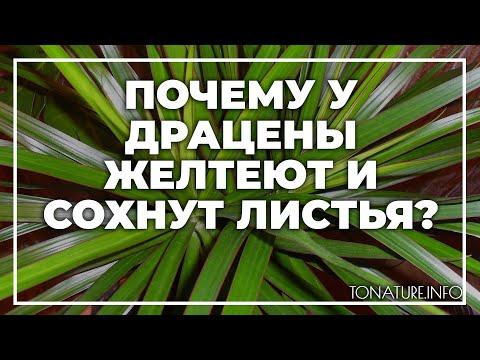 Почему у драцены желтеют и сохнут листья? | toNature.Info