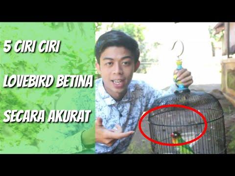 Perhatikan 5 ciri ciri lovebird betina - YouTube