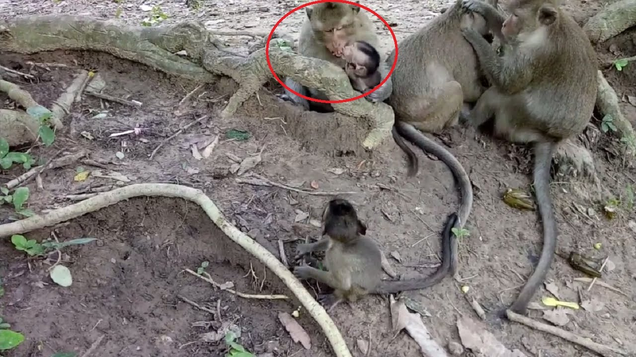 onh monkey feeling bad try to fight baby monkeys st273 youtube
