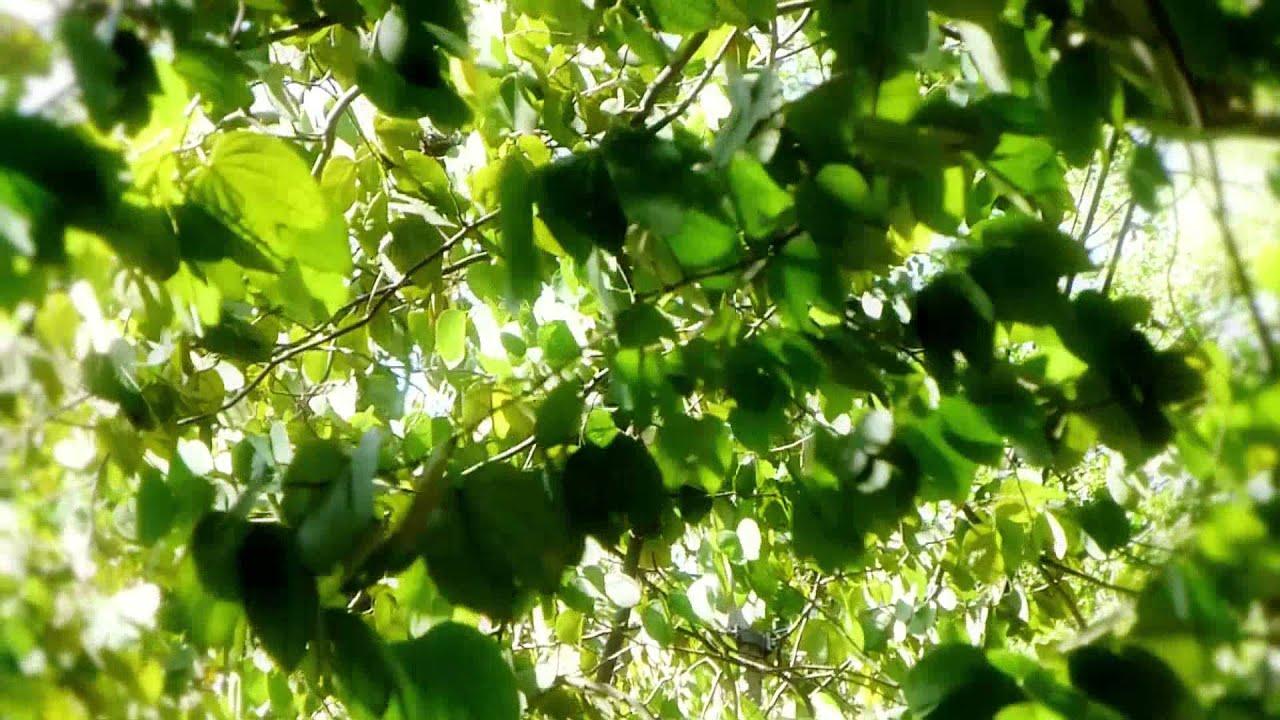 4974 hojas de un rbol moviendose con el viento efecto for Arboles de hoja perenne en galicia