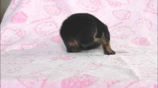 関西ロットワイラー子犬販売ページ→ http://www.atwan.net/searchdog/ro...