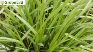 Бриза (трясунка) - видео-обзор от Greensad