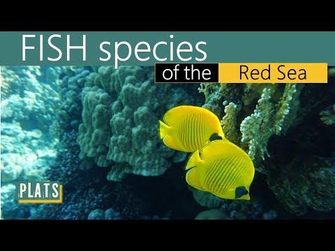 FISH Species Of The RED SEA -  Рыбы в Красном море