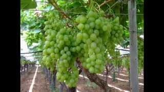 Как сохранить виноград. Хранение винограда