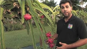 Dragon Fruit - Tropical Fruit Growers of South Florida