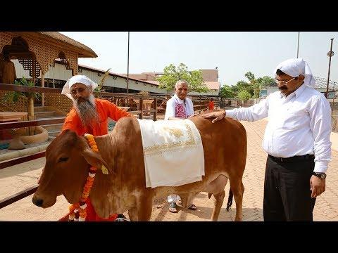गौ-दान यज्ञ || Kamdhenu Gaushala || Divya Dham Ashram || Divya Jyoti Jagrati Sansthan