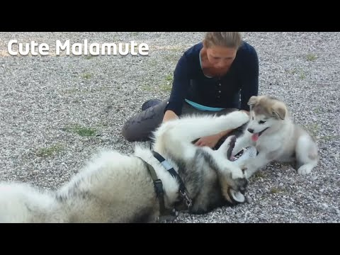 Alaskan Malamutes meeting for the very first time