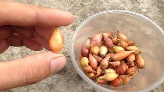Секреты высадки лука севка / Как вырастить крупный здоровый лук