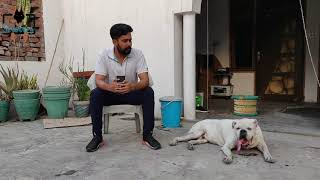 12 साल का Boxer Dog Breeds | Old Age Dogs Care And Tips | scoobers